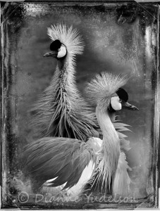 Yudelson_Dianne_East African Crowned Cranes_pwpblog