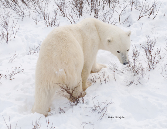 Polar Bear on Tundra Outside of Churchill, Manitoba, Canada ©Ann Littlejohn